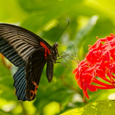 A Rosey Swallowtail gently alights on a flower. Taken in Khaoh  Lak ,Thailand