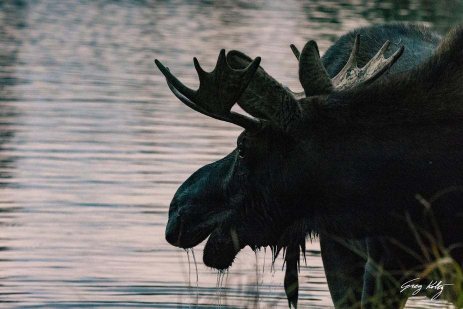 Moose Portrait No.2