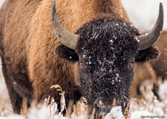 Bison Yellowstone National Park by Tripod_Travelers - Image Of The Month Photo Contest Vol 28