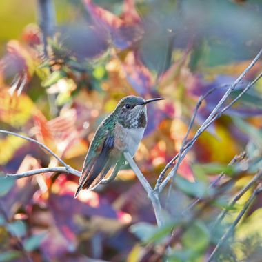 hummingbird IMG_5713
