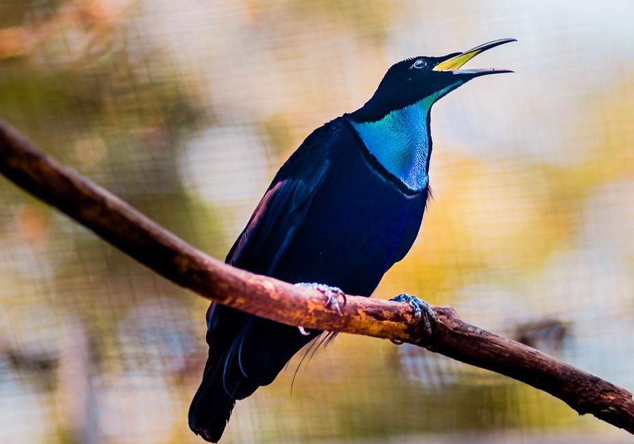 BirdofParadise 02