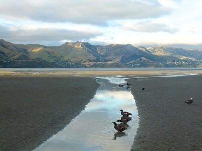Paradise ducks in a row, Banks Peninsula