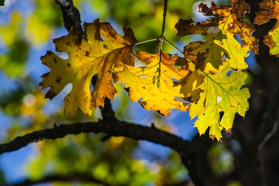 Fall leaves in the Sierra Nevada