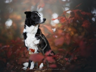 Border Collie and red leaves