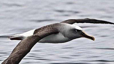 """""""Back in Heaven - Aotearoa"""" - Buller's Albatross study #125 - """"In Flight mode"""""""