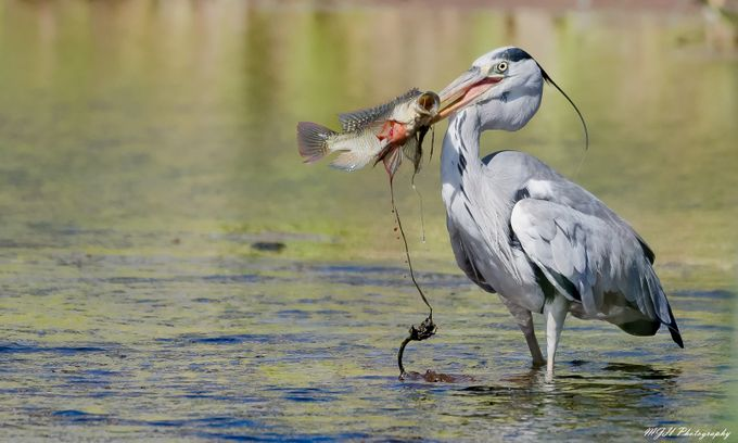 Grey heron fishing by mikehodgson - Food Chain Struggles Photo Contest