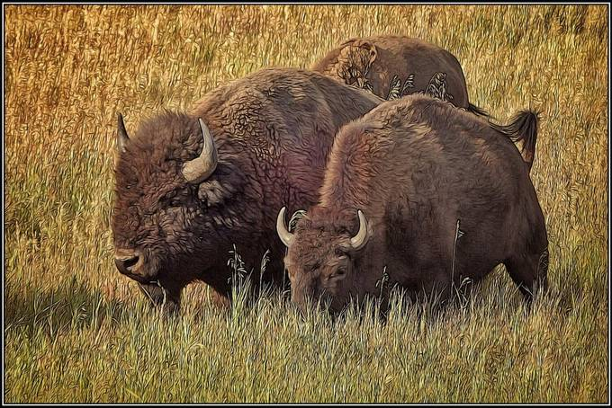 Outside Jackson, WY, bison (buffalo).