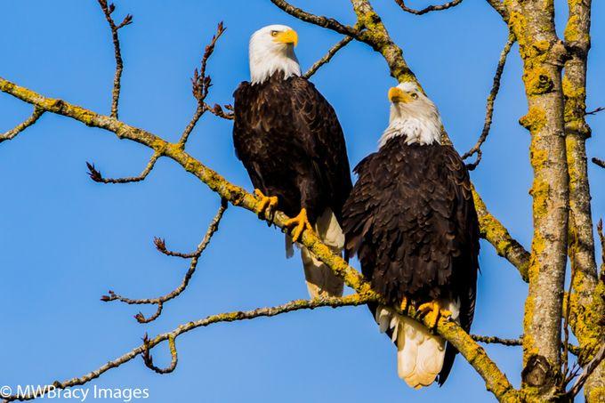 Eagle pair II