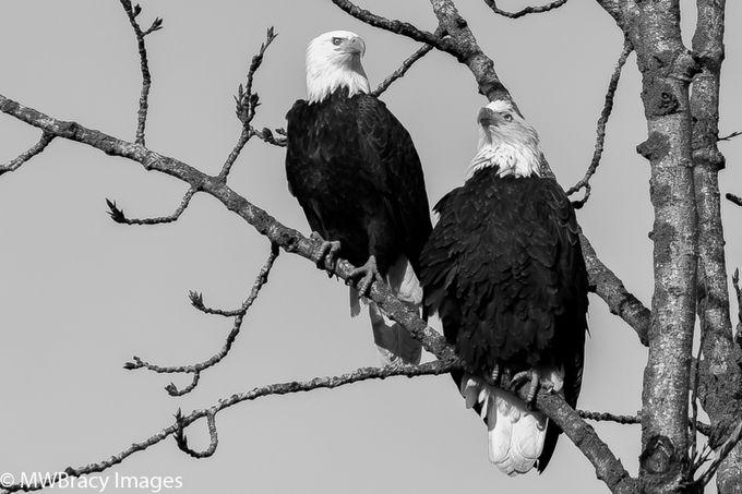 Eagle pair B&W