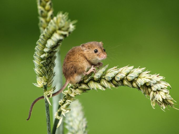 The Harvest Mouse by garrychisholm - Monthly Pro Vol 37 Photo Contest