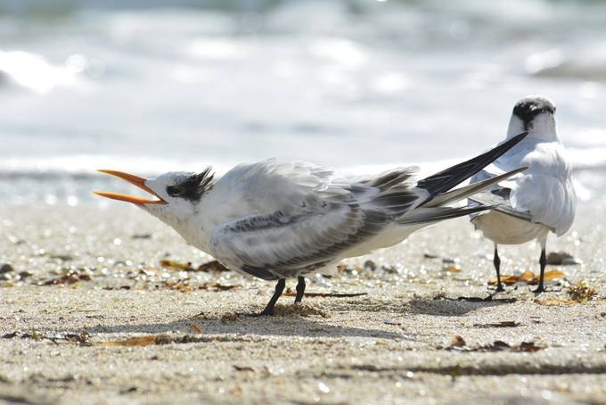 Juvenil Royal Tern, at Pompano Beach, while I was heading towards the light House.