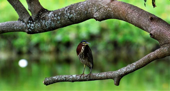 This Little Green Heron is spotting fishes from a pretty high branch, he is a frequent and is familiar with the place. This is in my brother's backyard.