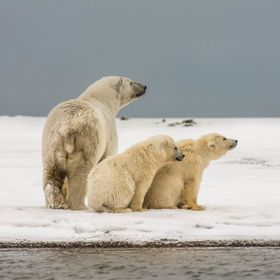 This Polar bear sow and her two cubs were constantly on the lookout for male bears.  Once one was spotted coming their way they would slowly head...