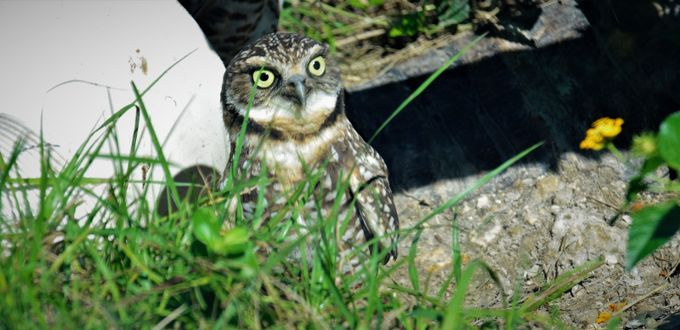 Actually I didn't realize he was there until I looked very firmly, I almost cracked when I saw him. Little Owl only about, 4 to 5 inches tall, this was at Zoo Miami.