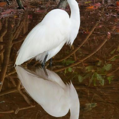 White Egret in Red Water