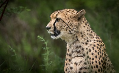Cheeta at Rietvlei Pretoria 387A8730
