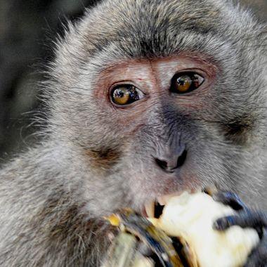 A long tailed macaque enjoying his banana !