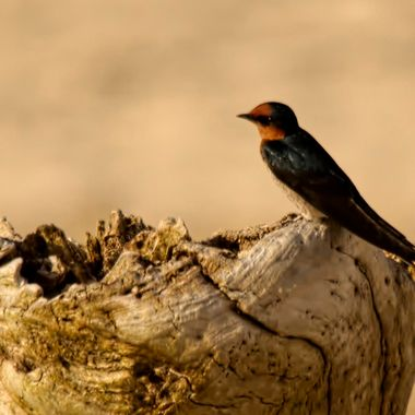 A Pacific swallow takes a break from swooping over the shoreline catching insects