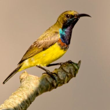 An olive Backed Sunbird in all his glory !!. Taken in Khao Lak , Southern Thailand