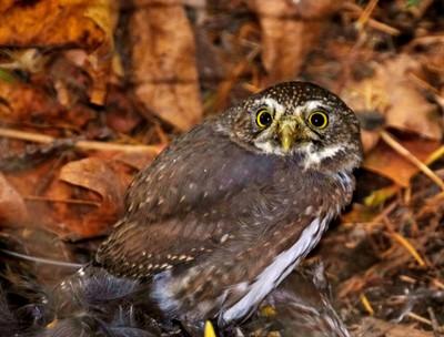 Pygmy Owl 2