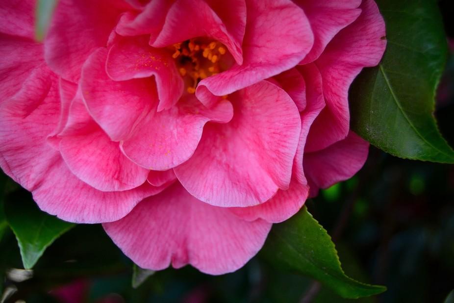 Camellia, Napa