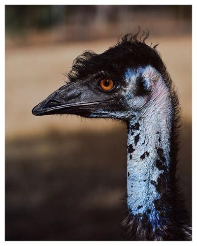 Emu bob