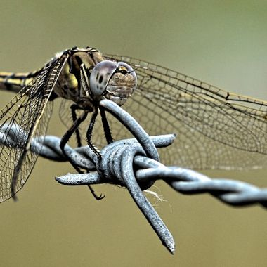 Dragon Fly (6)