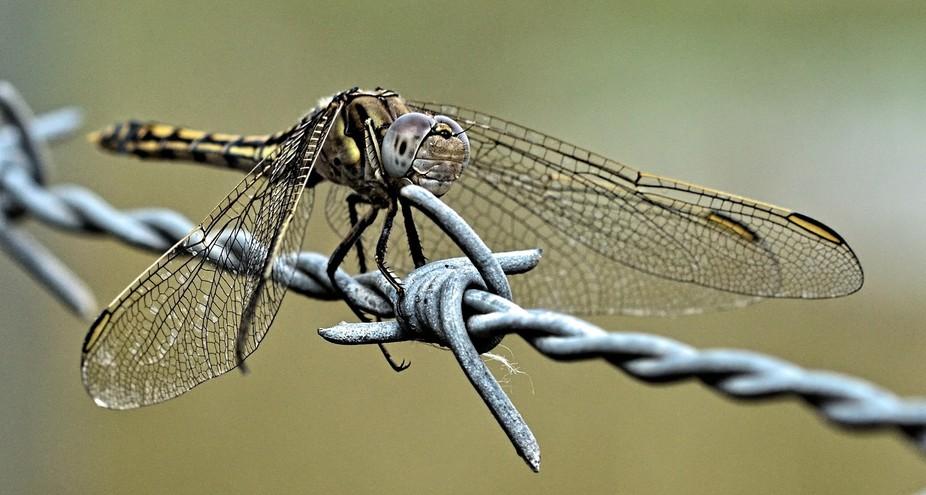Dragon Fly (6)