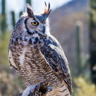 Beautiful Great Horn Owl hanging around in the desert.