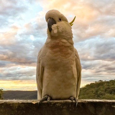 Cockatoo Visitor Posing