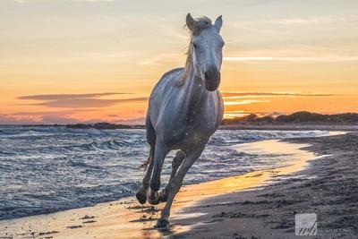 Camargue Horse 04