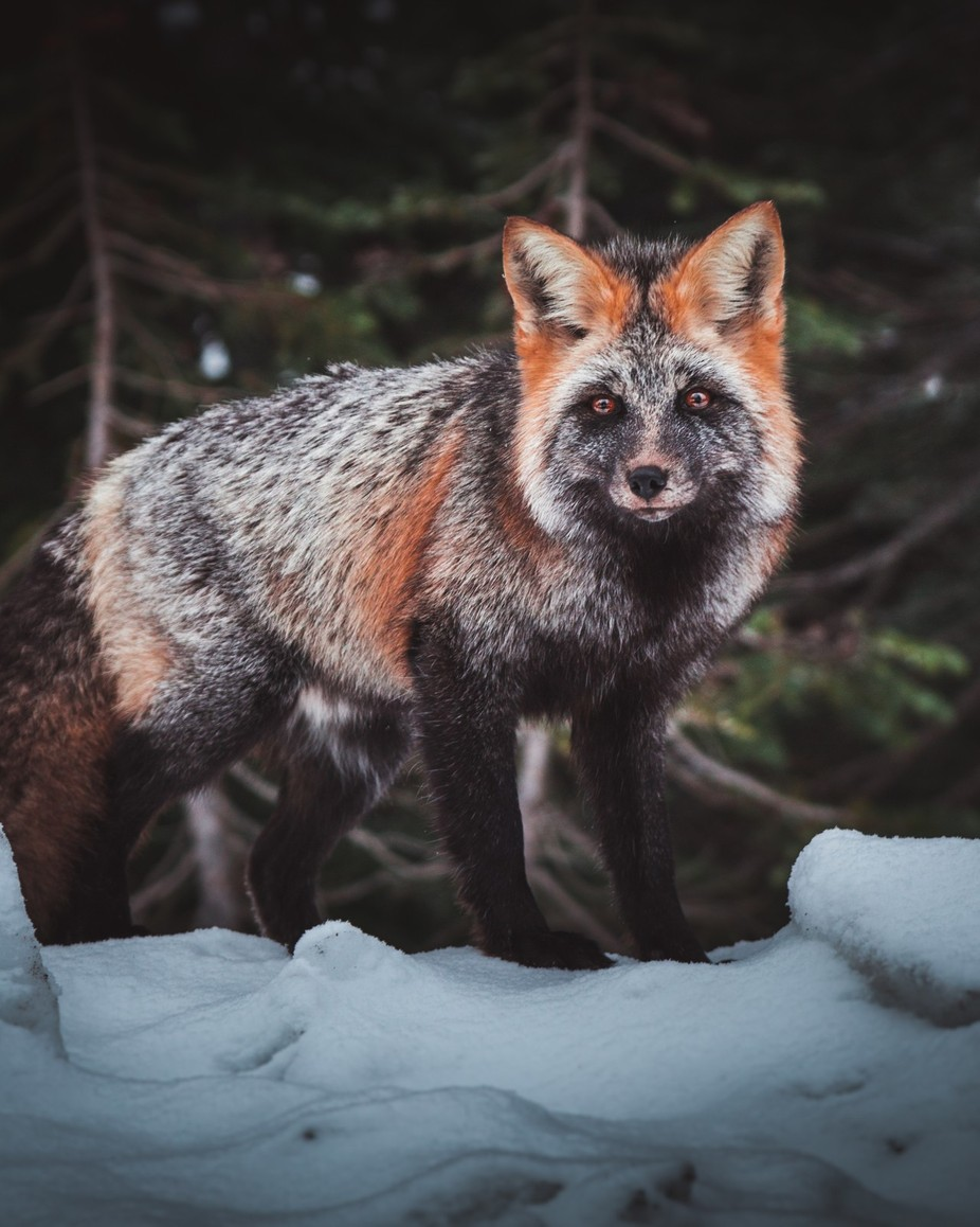 FOX by DavidPriymak - Monthly Pro Vol 37 Photo Contest
