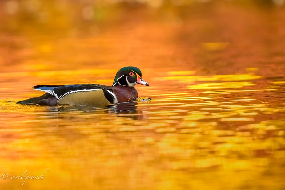Stunning Wood duck