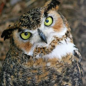 I chase this owl all over a mountain for about an hour.  I finally caught up with him as he landed just over a little hill. He look at me as to s...