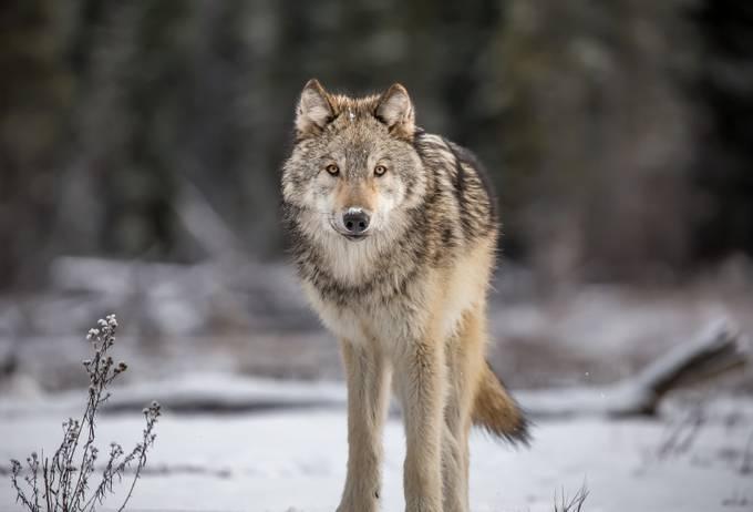 Canis lupus by JanHrischenko - Monthly Pro Vol 37 Photo Contest