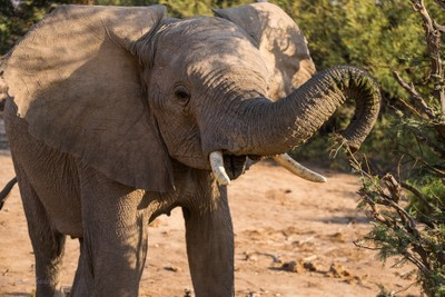 Desert Elephant from the Huab river headstreams. Namibia