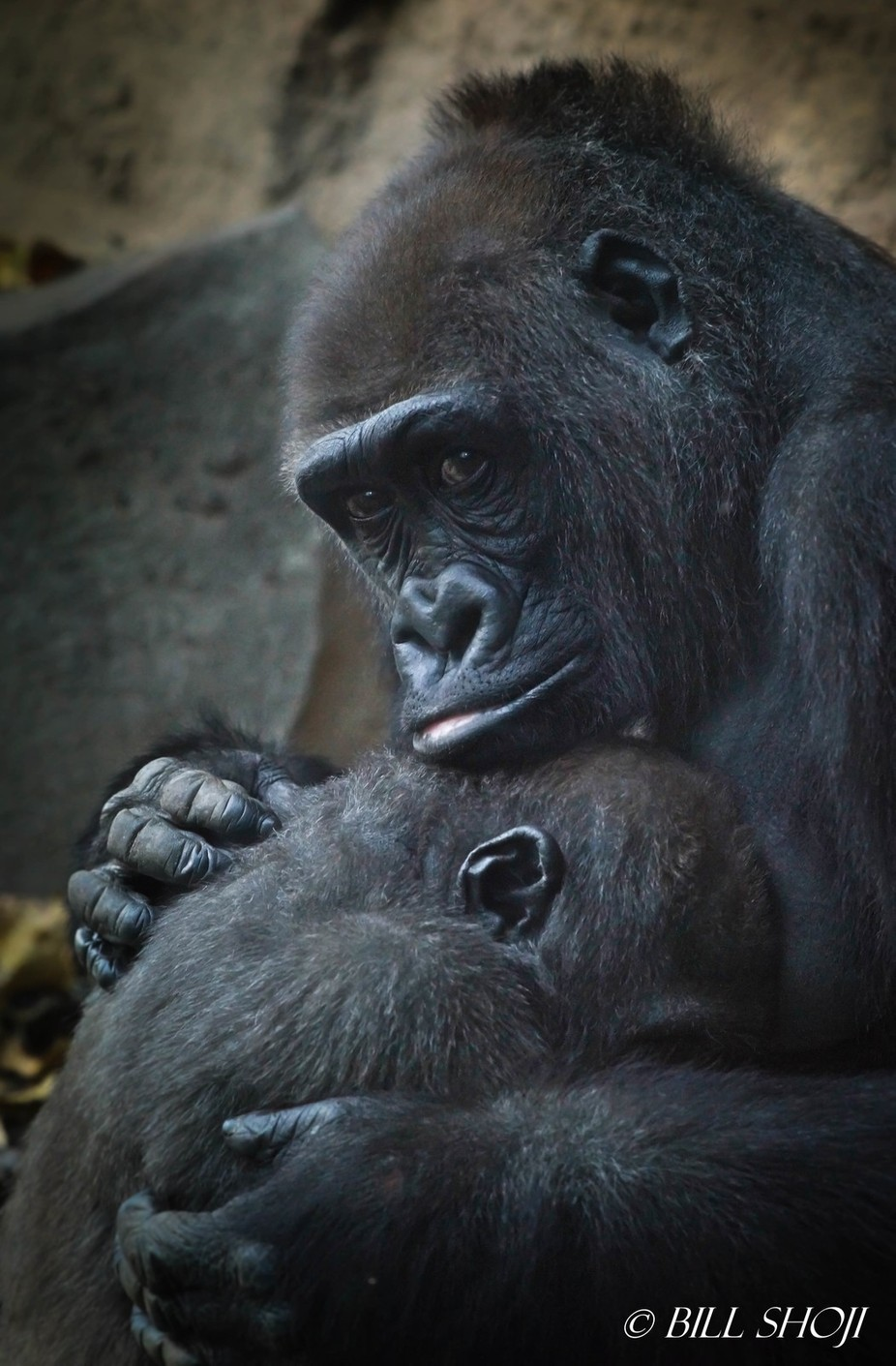 Mother and baby gorilla at Bronx Zoo, New York, December 2017.