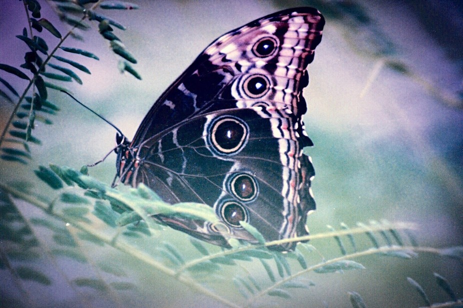 A butterfly shot at The Butterfly Pavilion in Westminster, Colorado with a Canon Rebel 35mm film ...