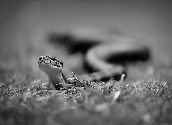 scary snake by alisaadat - Snakes Photo Contest