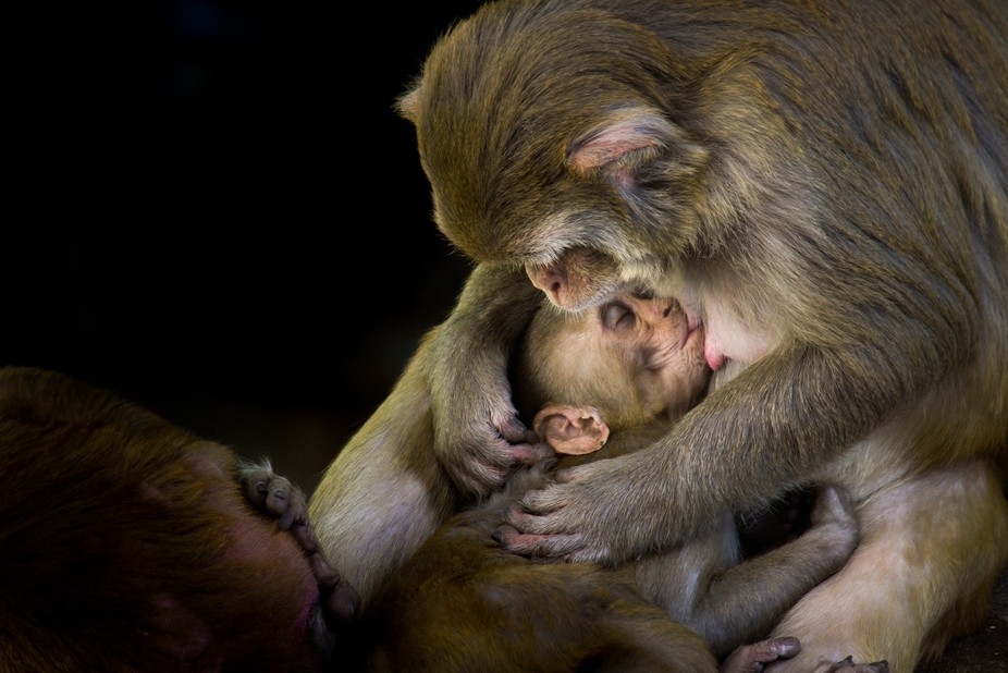 During my photo walk I spotted this Mother Monkey trying to put her child to sleep, and immediate...