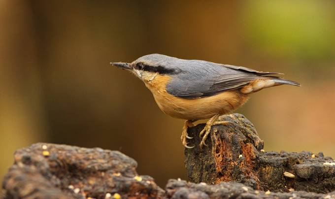 Nuthatch by DylanBurgess - Monthly Pro Vol 37 Photo Contest