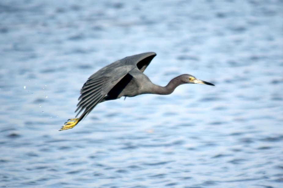 young blue heron flying
