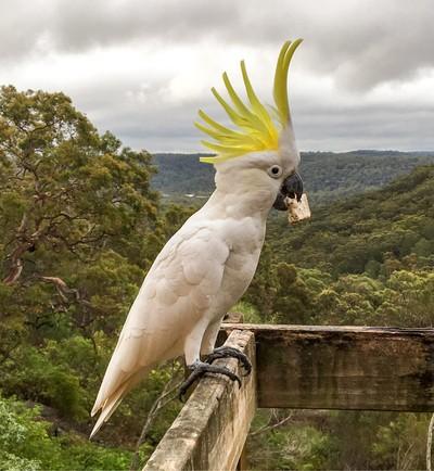 Cockatoo Visitor