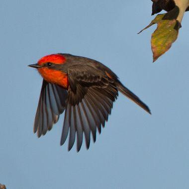 Vermillion Flycatcher-6487
