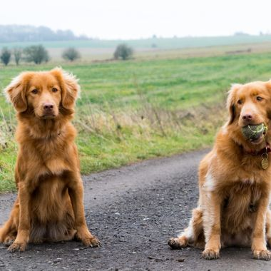 My two Nova Scotia Duck Tolling Retrievers.