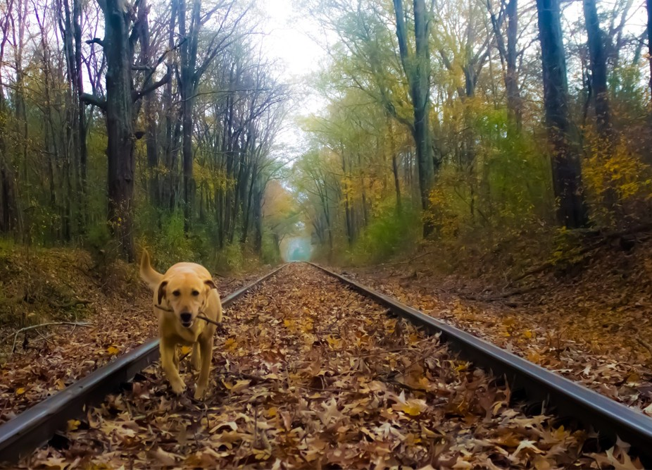 Roux running down stick on the train tracks