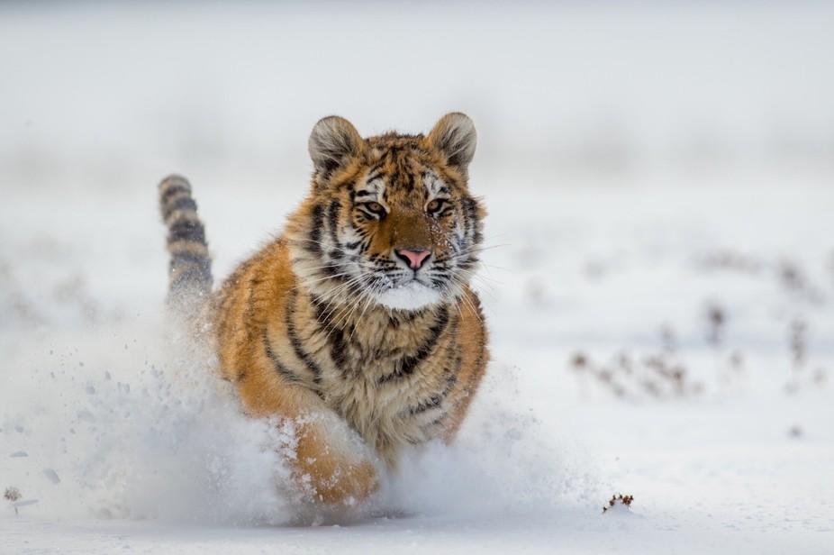 Huricane (tygr ussurijský)