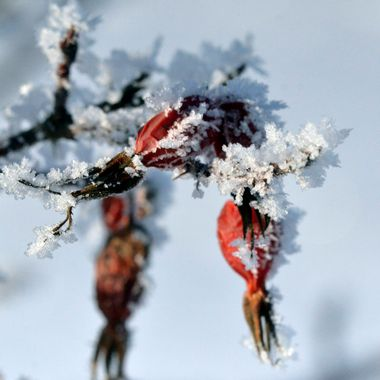 December 3, 2017, taking photos of hoarfrost, at -20 Celsius, of Alberta wildrose rosehips