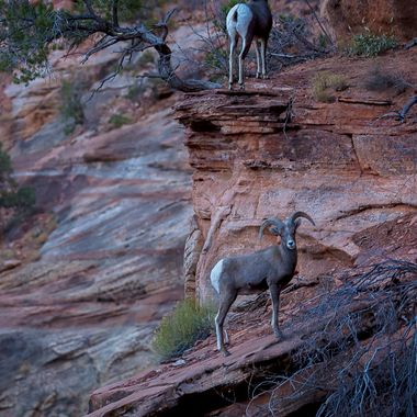 Zion National Park, River Walk spotted some Bighorn Sheep.