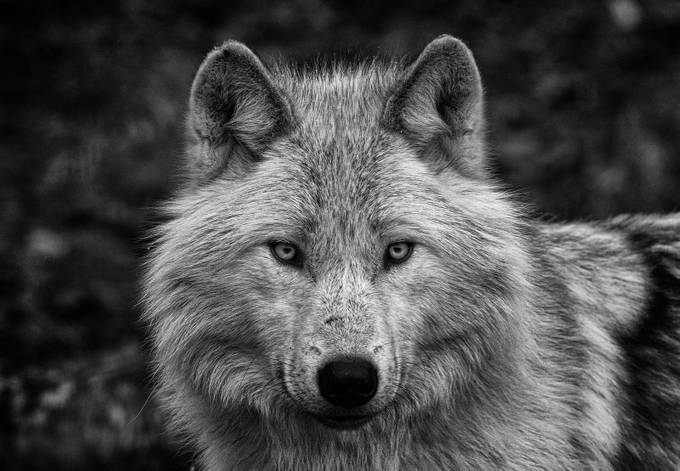 Grey Wolf stare by rpgdepictions - Wolves Photo Contest